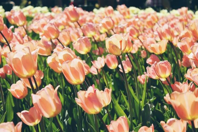 peach_tulips_charles-perrault-88303_unsplash.jpg